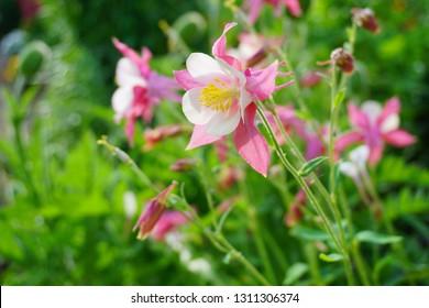 Aquilegia vulgaris - Common columbine