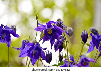 Aquilegia vulgaris - Common columbine