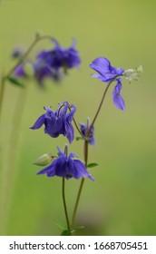 Aquilegia vulgaris (European columbine, common columbine, granny's nightcap, granny's bonnet) is a species of columbine native to Europe. Close up of a blue flower