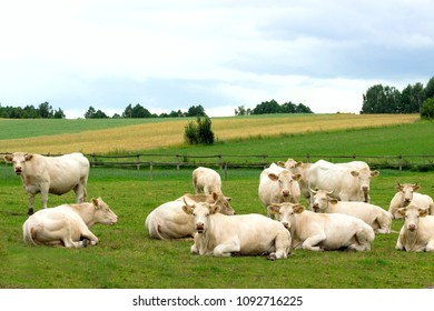 Aquitaine light beef breed of cows