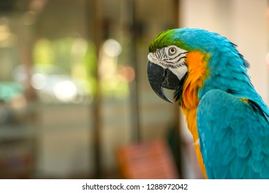 Ara ararauna. Blue yellow macaw parrot portrait. Ara macaw parrot looking at the camera.