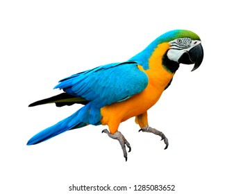 Ara ararauna. Blue-yellow macaw parrot on the hand. Isolated on the white