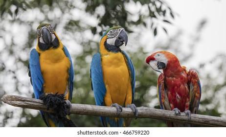 ara ararauna and macaw parrot on its perch