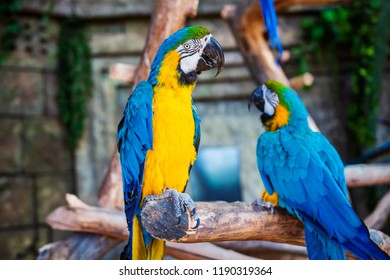 Ara ararauna. Two Blue-yellow macaw parrots on tree branch. Ara macao parrots in zoo