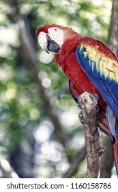 ara macaw parrot. beautiful cute funny bird of red, blue, yellow feathered ara parrot outdoor on green natural background. colorful ara parrot macaw