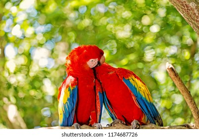 ara macaw parrot. Cute pair of parrots or birds, scarlet macaws or ara with red, yellow and blue feathers, plumage, sit on tree branch with green leaves sunny day on bokeh natural background