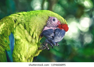 ara parrot, beautiful cute funny bird of green and red feathered outdoor on green natural background