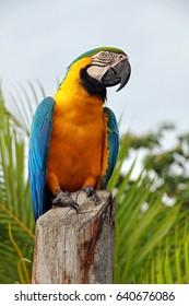 Ara parrot, Orinoco delta, Venezuela