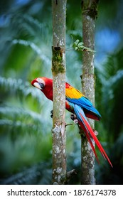 Ara parrot, Scarlet Macaw, Ara macao, in its natural green forest environment.  Red, yellow and blue parrot. Vertical photo, wild animal, Costa Rica, Central America.