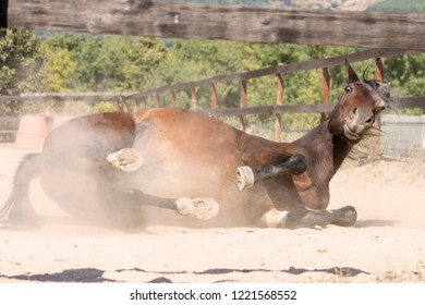 Arab brown horse rolling on the dusty ground looking at camera.