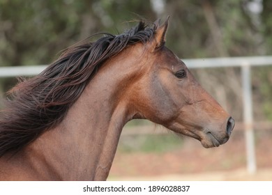 Arab horse  is a breed of horse that originated on the Arabian Peninsula.