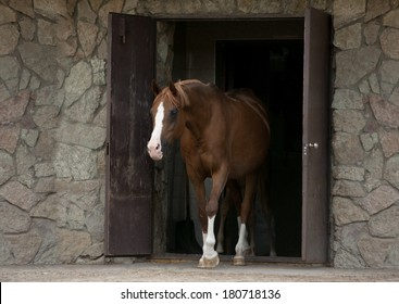 arab horse coming out of stable