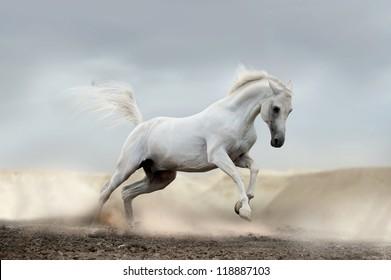 arab horse in desert