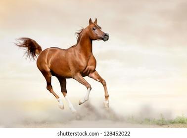 arab horse running