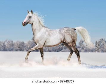 arab horse runs free in winter