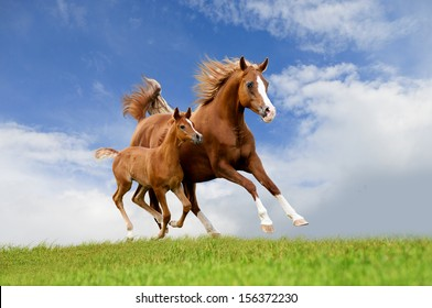 The arab mare with foal running isolated on the field