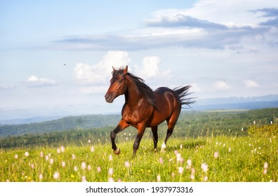 Arab racer runs on a green summer meadow on sunny day