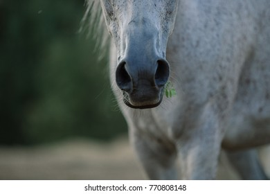 Arab thoroughbred horse