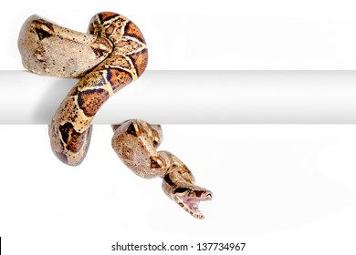 Arabesque Columbian red-tailed boa (Boa constrictor constrictor) isolated on white background.
