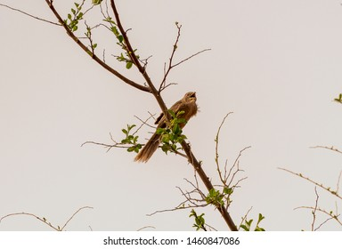 Arabian Babbler sitting on the banche, abudhabi, uae