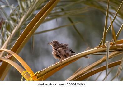 arabian babbler spread feather afterbath,abudhabi, uae
