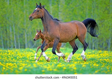 Arabian Bay Mare and Foal running together in meadow of flowers