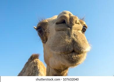 Arabian camel or Dromedary (Camelus dromedarius) in the Dahab, Egypt