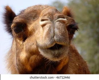 Arabian Camel Face Close-up
