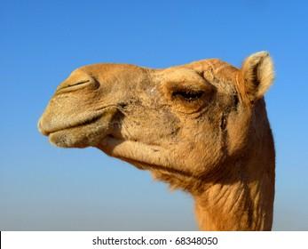 Arabian Camel Head Close-Up