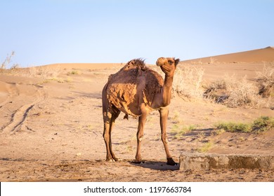 Arabian camel, also known as dromedary, posing and looking at the camera in the Maranjab desert at dusk. Maranjab desert is the main sand desert of central Iran