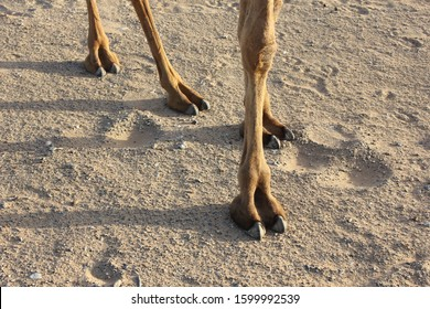 The Arabian camel is a large even-toed ungulate with one hump and is found throughout the Middle East and North Africa region. Closeup of its legs.