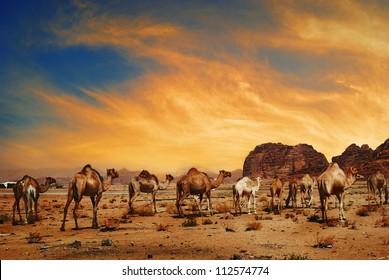 Arabian camels in desert of Wadi Rum, Jordan. Middle east landscape at sunset.