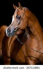 Arabian chestnut horse portrait on dark background