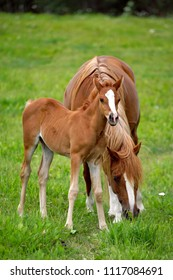 Arabian Chestnut Mare and foal together in meadow