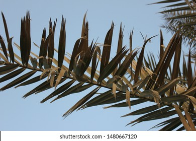 Arabian date palm tree branches sway under a clear blue sky. Part of the Arecaceae date palm tree family, these evergreen cultivated trees range from across the Middle East region up to North Africa.