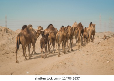 Arabian desert and camels