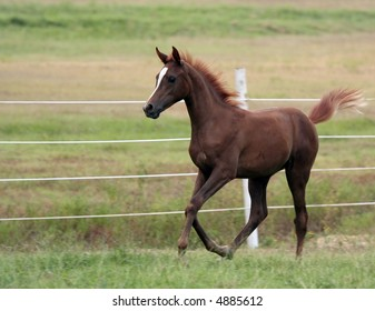 Arabian Foal racing along the fence