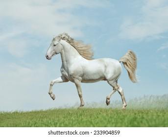 arabian free horse
