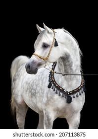 Arabian gray horse on black background