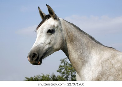 Arabian gray horse standing in corral at summertime