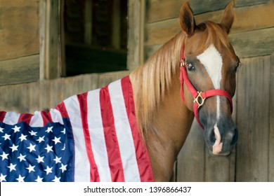 Arabian horse adorning American Flag in barn.