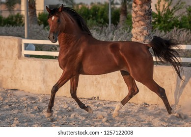 Arabian horse beauty at Doha Qatar