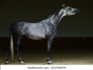 Arabian horse dapple gray mare portrait against  dark background