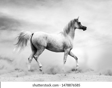 Arabian horse in the desert, black and white shot. Monochromatic toned image, dramatic and artistic theme