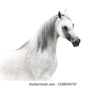 arabian horse in high key isolated on white