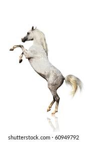 arabian horse isolated
