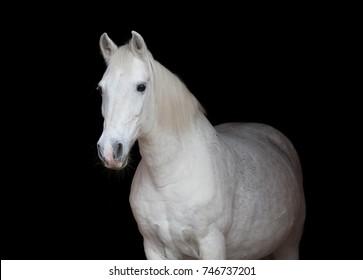 Arabian horse isolated on black background.