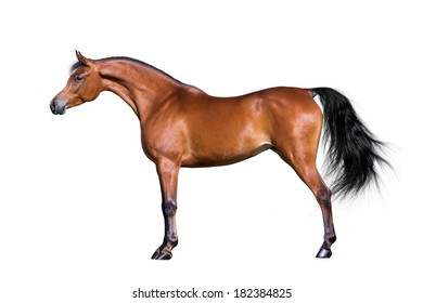 Arabian horse isolated on white background.
