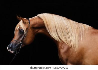 Arabian horse Karnegi, yang stallion from Russia