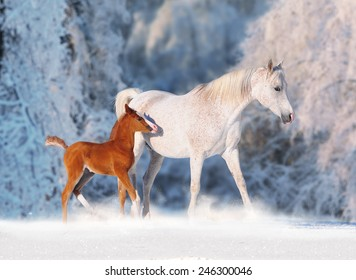 Arabian horse mare and her young colt running through fresh snow.